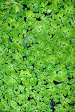 Green duckweed in water Stock Photos