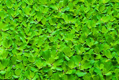 Green duckweed in water Royalty Free Stock Photos