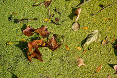 Green duckweed in water with dry leaves Royalty Free Stock Photography