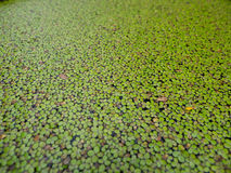 Green duckweed Royalty Free Stock Photos