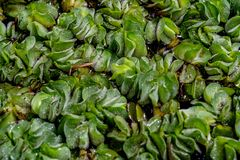 Green Dug Plants. Floating on the water stock images