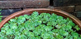 Green Dug Plants. On the water in clay bowl stock photos