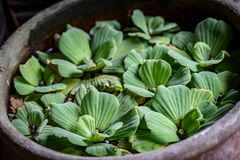 Green Dug Plants. On the water in clay bowl royalty free stock photo