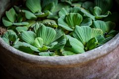 Green Dug Plants. On the water in clay bowl royalty free stock photography