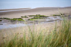 Green dune grass in beal beach Royalty Free Stock Photography