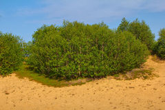 Green dune: planting forests is fixed sands and Stock Images