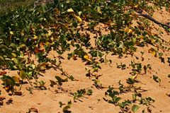 GREEN DUNE VEGETATION AT THE COAST. Image of green vegetation on a dune at the edge of a sandy beach at the sea in summer stock images