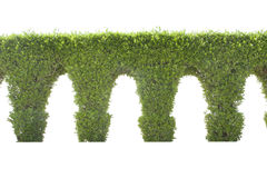Green dwarf tree arch wall on a white background Stock Photography