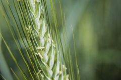 Green ear of cereals on a closeup. Green large ear of cereals on a closeup stock image