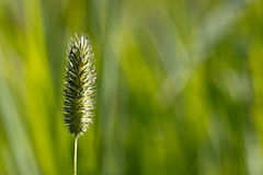 The green ear in the field Royalty Free Stock Photography