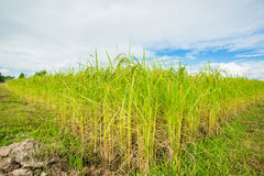 Green ear of rice Royalty Free Stock Photography