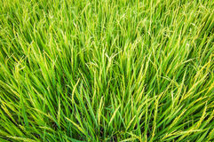 Green ear of rice in paddy rice field. Fresh green ear of rice in paddy rice field Royalty Free Stock Images