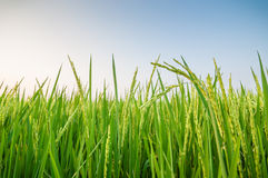 Green ear of rice in paddy rice field. Under blue sky royalty free stock photo
