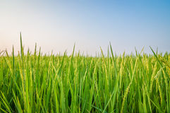 Green ear of rice in paddy rice field. Under blue sky Royalty Free Stock Photography