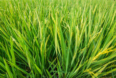 Green ear of rice in paddy rice field. Fresh green ear of rice in paddy rice field Stock Image
