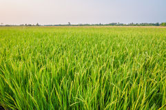 Green ear of rice in paddy rice field. Under blue sky stock photos