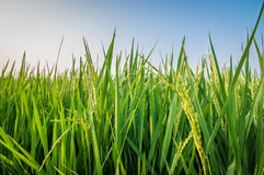 Green ear of rice in paddy rice field. Under blue sky stock photo