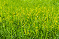 Green ear of rice in paddy rice field. Stock Photo