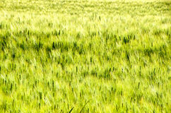 Green ear texture tall grass background Royalty Free Stock Image