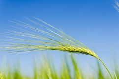 Green ear of wheat on blue sky background Royalty Free Stock Image