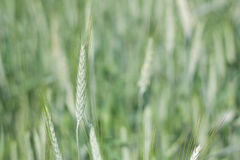Green ear of wheat in summer Stock Images
