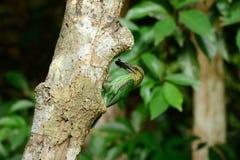 Green-eared barbet Stock Image