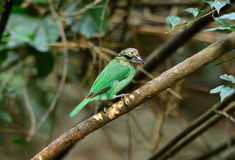 Green-eared barbet Stock Photo