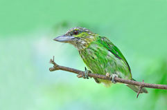 Green-eared Barbet Bird Royalty Free Stock Photo