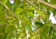 Green-eared Barbet Bird Stock Photo