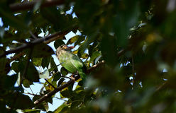 Green-eared barbet bird Stock Image