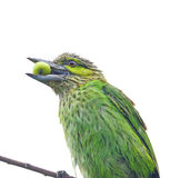 Green-eared Barbet Stock Image