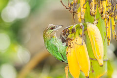 The Green-eared Barbet (Megalaima faiostricta)  bird Stock Image