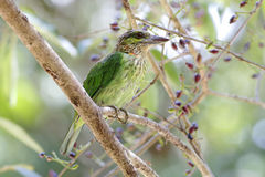 Green-eared Barbet Megalaima faiostricta Birds of Thailand Royalty Free Stock Image