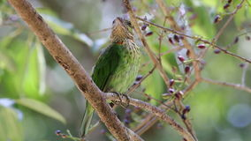 Green-eared Barbet Megalaima faiostricta Birds of Thailand stock video footage