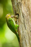Green-eared Barbet Royalty Free Stock Photography