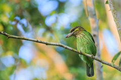Green-eared Barbet Royalty Free Stock Images