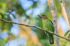 Green-eared Barbet Royalty Free Stock Image