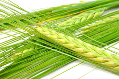 Green Ears of Barley. A close-up shot of green ears of barley Royalty Free Stock Photo