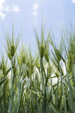 Green ears of barley Stock Photo