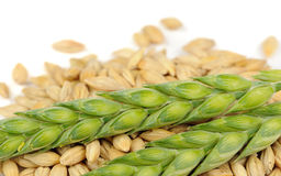 Green Ears and Barley Grains Close-Up Royalty Free Stock Images