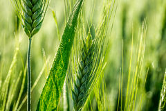 Green ears of corn in a field Stock Photography