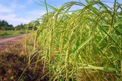 Green ears of corn in Thailand Stock Photos