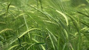 The green ears of grain. Wheat wind shakes stock video footage