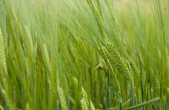 Green ears of a rye Stock Images