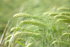 Green ears of a rye Royalty Free Stock Photography