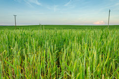 Green ears of rye in the field Royalty Free Stock Images