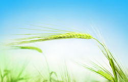 Green ears of wheat against the blue sky. In the summer royalty free stock photos