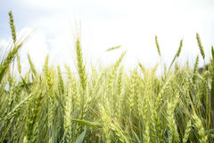Green ears of wheat Stock Photos