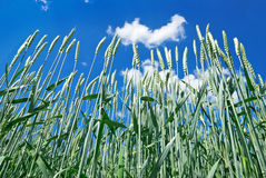 Green ears of wheat on the blue sky background Royalty Free Stock Photo