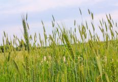 Green ears of wheat Royalty Free Stock Image